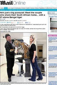 RENOVAÇÃO: Casal cria tigre de bengala de 171 quilos em casa,...