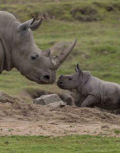 Rhino calf Kayode with Mom Kiazi, San Diego Zoo Safari Park. The Animals, Nature Animals, Baby Animals, Wild Animals, Baby Elephants, Safari Animals, Beautiful Creatures, Animals Beautiful, Save The Rhino