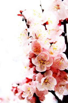 Cherry blossoms...I think they are so pretty!