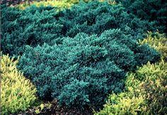 Blue Rug Juniper Ground Cover | juniper blue star 2 high by 3 wide low mounding juniper with bluish ...