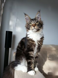 Murphy Black Tabby White Maine Coon