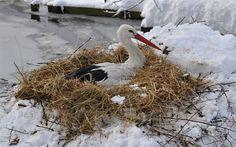 Záchranné stanici v Bartošovicích 2013 már tojásokon ült a gólya, mikor megérkezett a márciusi havazás. Cikk: http://zpravy.idnes.cz/snehu-az-po-zobak-ale-capi-samice-se-z-vajec-ani-nehnula-pf9-/domaci.aspx?c=A130404_181305_ostrava-zpravy_jog