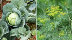 Skip chemical pesticides and instead invest in sampling to keep the insects away completely ecologic Growing Vegetables, Growing Plants, Go Green, Farm Life, Garden Inspiration, Garden Ideas, Horticulture, Dahlia, Vegetable Garden