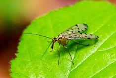 Skorpionsfliege auf grünem Blatt, Wald, aufgenommen im Mai, Tiere