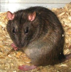 Gardening: Do You Have a Problem With Rats?