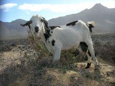 Viajes4u: mtk nos envía esta foto tomada en 2009. Las cabras se pueden encontrar por toda la isla.