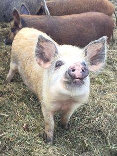 Magalista x wild boar @thelittleflockfarm @ellislarrisa.H
