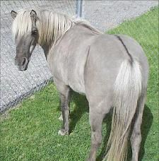 Silver (grulla) - Misty. Base coat is black and diluted by both a dun dilute gene and a silver dilute gene