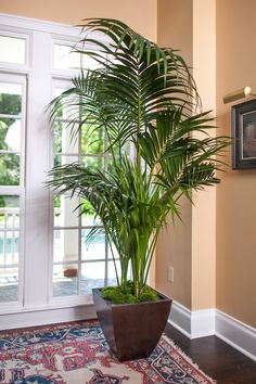 Kentia Palm Large High Quality Tropical Plants Shipped to your Door – House Plants Indoor Fairy Gardens, Indoor Gardening, Easy House Plants, Belle Plante, Lower Lights, Fiddle Leaf Fig, Bathroom Plants, Ficus, Outdoor Plants