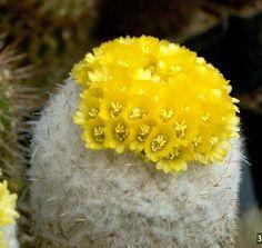 Austrocylindropuntia lagopus ile ilgili görsel sonucu
