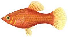 Southern platyfish (Xiphophorus maculatus)