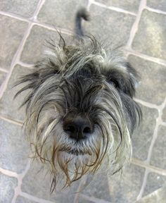The wirey 'do' of a scruffy schnauzer Mini Schnauzer Puppies, Miniature Schnauzer, Trouble Makers, Scruffy Dogs, Psy, Crazy Dog Lady, Border Terrier, Garden Sheds, Dog Boarding