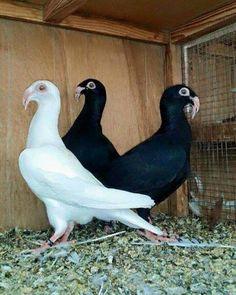 حمام الزاجل Le Pigeon, Pigeon Pictures, Pigeon Breeds, Homing Pigeons, Bird Feathers, Beautiful Birds, Bracelets, Pigeon, Animals