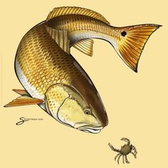 images of redfish | Redfish Graphics, Pictures, & Images for Myspace Layouts