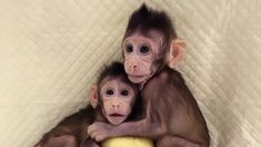 A team of researchers has produced two macaque monkey clones using a technique called somatic cell nuclear transfer. It's a first for primates. The advance could hasten research into human diseases.