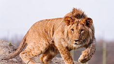 lion, hunting, look - http://www.wallpapers4u.org/lion-hunting-look/