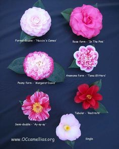 Types Of Camellias Flowers Camellia Flower Camellia