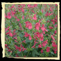 "Texas Betony has a long bloom season, from spring until fall. Leaves are soft and fuzzy and the plant has a mat forming growth habit. Great for borders,mixed perennial beds, as well as for containers.    Hardiness Zones: USDA Zone 6 (-10 °F) to USDA Zone 9 (20 °F)    Height: Grows 14-18"" tall. Space 12-18"" apart.    Exposure: Plant in Full Sun to Part Sun.    Bloom Time: Blooms Late Spring to Early Fall."