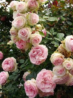 Some fave roses, Cuisse de Nymphe Emue. Howard Slatkin.