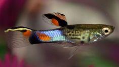 Campoma no 31 'Blue Snake'