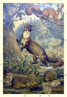Oude schoolplaat van rond de eeuwwisseling met eekhoorn, boommarter, egel, ringslang, vliegenzwam en witte koraalzwam