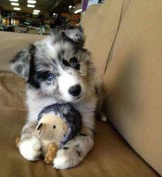 What a cute Golden retriever x siberian husky puppy