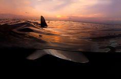 Un impressionnant requin