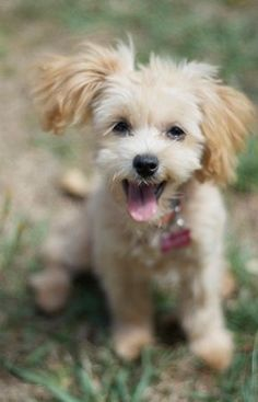 Happy little guy! #happy #puppy #pup #dog #dogs #fluffy #fluf #fur #puppies #pet #pets #animals #animal #play #playing #grass #outside #happy #cute #adorable #sunshine #greengrass #green #paws #aw #cuteanimals #tongue #doggyfashion