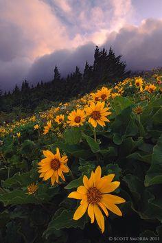 Dog Mountain Sunrise - Balsamroot and sunrise light on a windy morning at Dog Mountain, Columbia River Gorge, Washington.