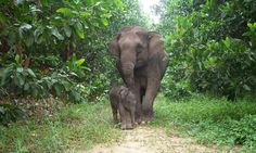 Sumatran Elephant Calf..Sumatran elephants feed on a variety of plants and deposit seeds wherever they go, contributing to a healthy forest ecosystem....