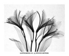 Steven N. Meyers: Alstromeria #3
