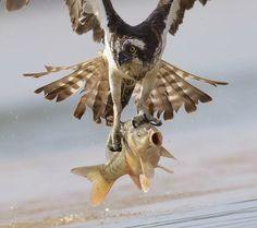 Fotógrafo flagra momento em que águia captura carpa em lago na Lituânia