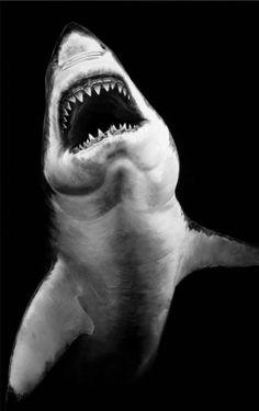 Shark Drawings by Robert Longo Orcas, Beautiful Creatures, Animals Beautiful, Hai Tattoo, Tattoos, Shark Bait, Shark Fish, Ocean Creatures, Shark Week