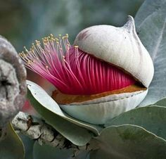 Eucalyptus flower-bud opening-up - The Cap / Lid coming-off! Flowers and plants Unusual Flowers, Unusual Plants, Rare Flowers, Amazing Flowers, Beautiful Flowers, Flowers Pics, Strange Flowers, Exotic Plants, Pink Flowers