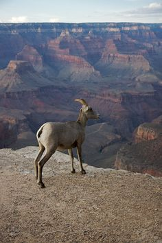 How Aldo Leopold envisioned a better path for the Grand Canyon before it we even preserved as a Nation Park. (Image: A Bighorn Sheep in front of the Grand Canyon by Marcin Wichary. CC BY 2.0 via Wikimedia Commons.)