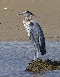 great blue heron standing - Google Search