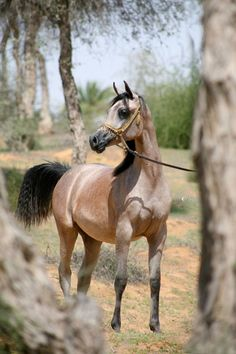 Kahramanah Al Zobair  (Amaar Al Rayyan x Aligance) Straight Egyptian Mare foaled July 13, 2008