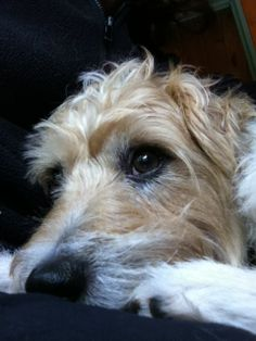 Jack the rescue dog.  Jack Russell Terrier.