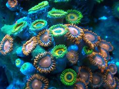 anemones, fluorescent, ocean, ocean life, photography - inspiring picture on Favim.com