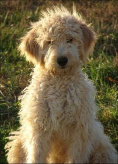 One day I will have my very own goldendoodle. haha!