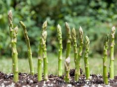 Grow Attractive and Delicious Asparagus with These Tips: Asparagus takes some work and patience up front, but you will be harvesting for the next 20 years.