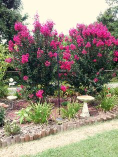 Crepe Myrtle trees, beautiful! Reminds me of my grandmother's house growing up.