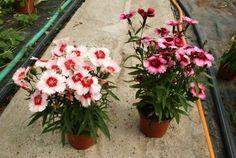 Pěstujeme karafiáty, odolné trvalky i letničky | Bydlení pro každého