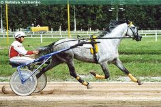 Russian trotter stallion Tarhun. Russian trotter is created by crossing Orlov trotters with Standardbreds. The sire of Tarhun is US-born Homecoming Hero and its dam is a Russian trotter. Gray coloring is quite common, thanks to their Orlov ancestors.