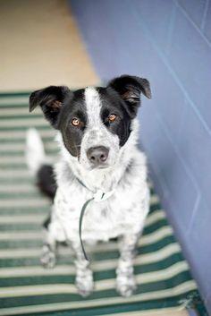 Border Collie/Australian Cattle Dog Mix dogsandpupsdaily
