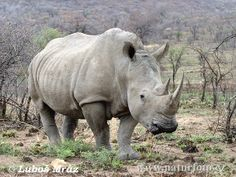 The White Rhinoceros (Ceratotherium simum) as well as other species are facing extinction due to poaching.