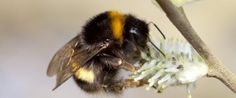 White-tailed bumblebee by Tom Marshall. Find out about different types of bees at http://www.bbowt.org.uk/wildlife/wildlife-advice/bees/different-kinds-bees -- Suzie (BBOWT)