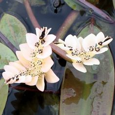 APONOGETON DISTACHYOS (Water Hawthorn)