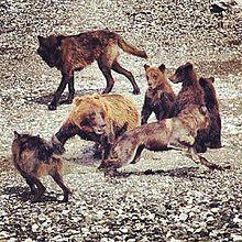 Gray wolf - Wikipedia, the free encyclopedia