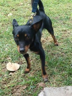 Meet Chuck, a Petfinder adoptable Chihuahua Dog | Boca Raton, FL | Chuck is a 1 year old Chihuahua/Dachshund mix looking for the love of his life! He's lonely and...